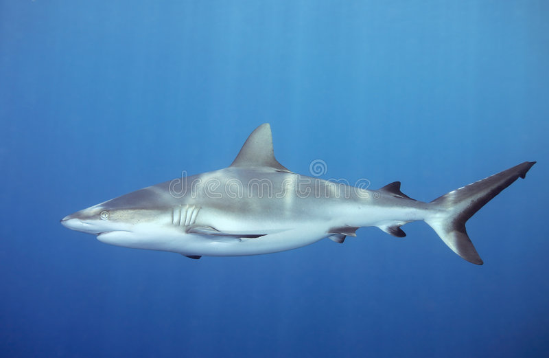 Shark swimming underwater. A grey whaler, or reef shark, swimming underwater. Sunbeams are shining down through the water and reflecting on the sharks back
