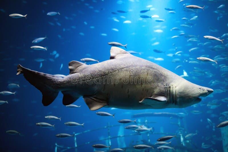 Shark swimming underwater royalty free stock photos