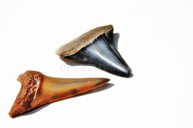 Shark teeth royalty free stock photography