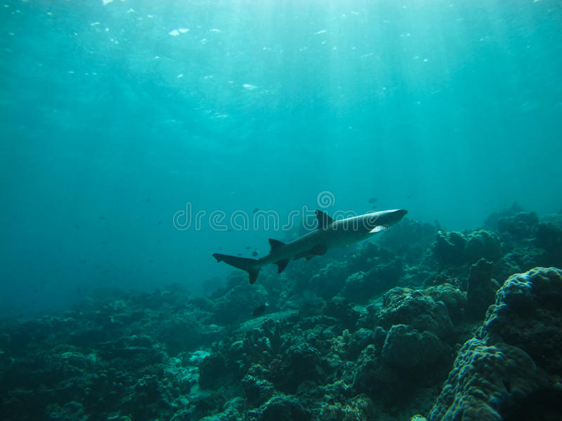 Shark Underwater Stock Photo