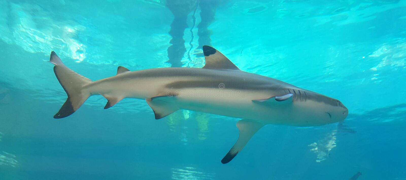 Shark in the water stock photography