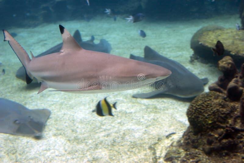 Shark3 image libre de droits