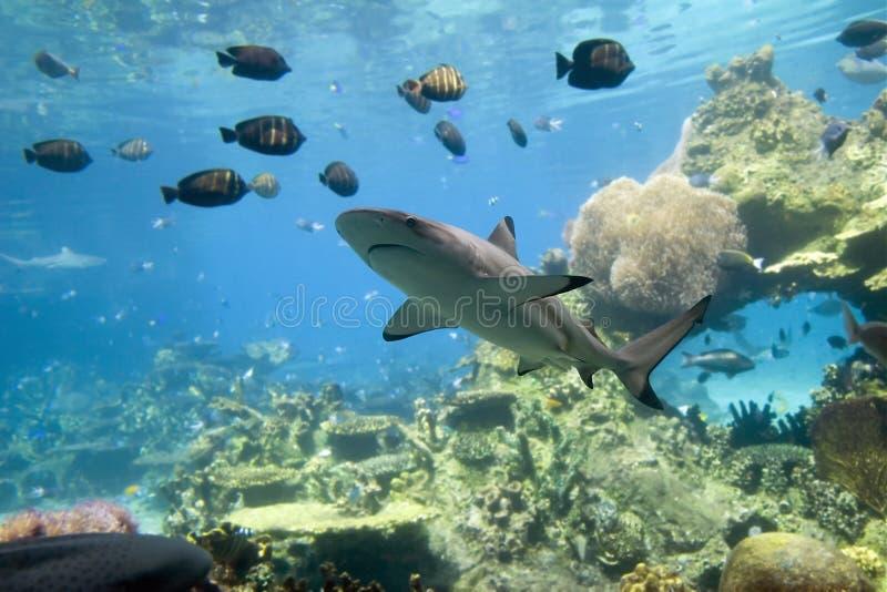 SharkReef images libres de droits