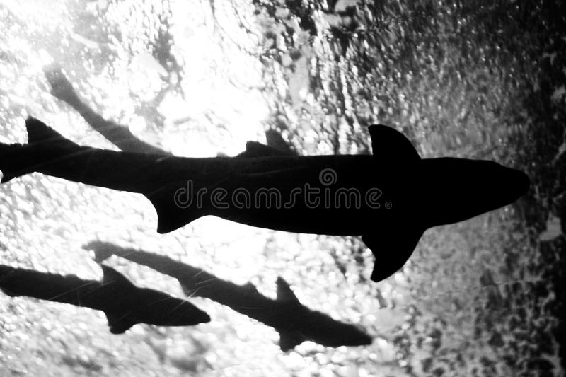 Download Sharks stock image. Image of diving, seas, silhouette - 12778037