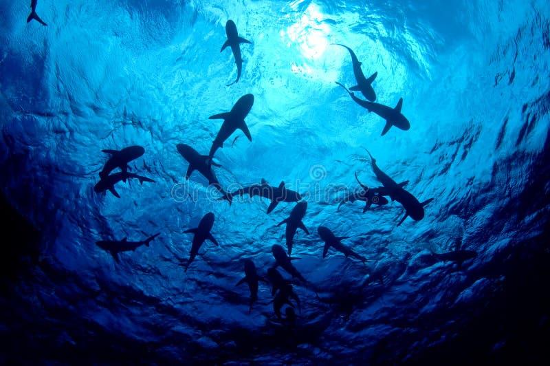 Sharks!. Gray reef sharks seen from below at Bikini Atoll
