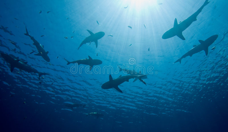 Sharks. A school of ten sharks swimming in shallow water, silhouetted against sunbeams shining through the water