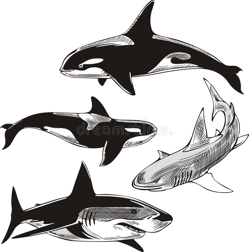 Download Sharks and killer whales stock vector. Image of carcharias - 26003464