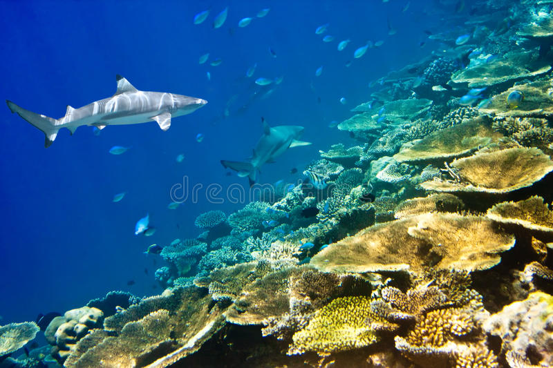 Sharks over a coral reef at ocean stock photo