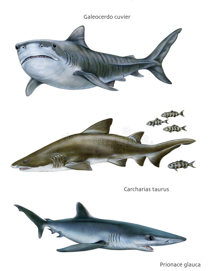 Shark Fish Vector Set In Flat Style Design  Different Kind Of Sharks