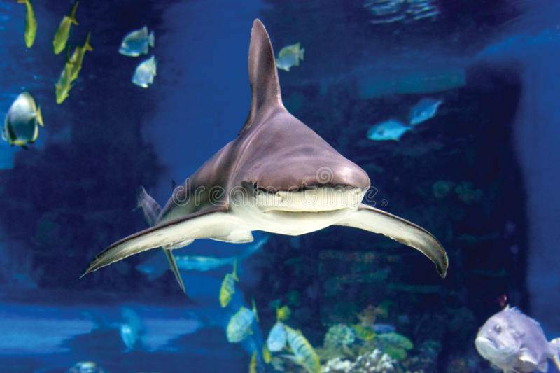 Sharks and small fish swimming in oceanarium royalty free stock photo