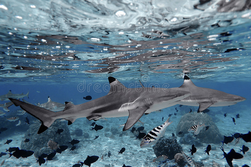 Sharks swimming in crystal clear water stock images