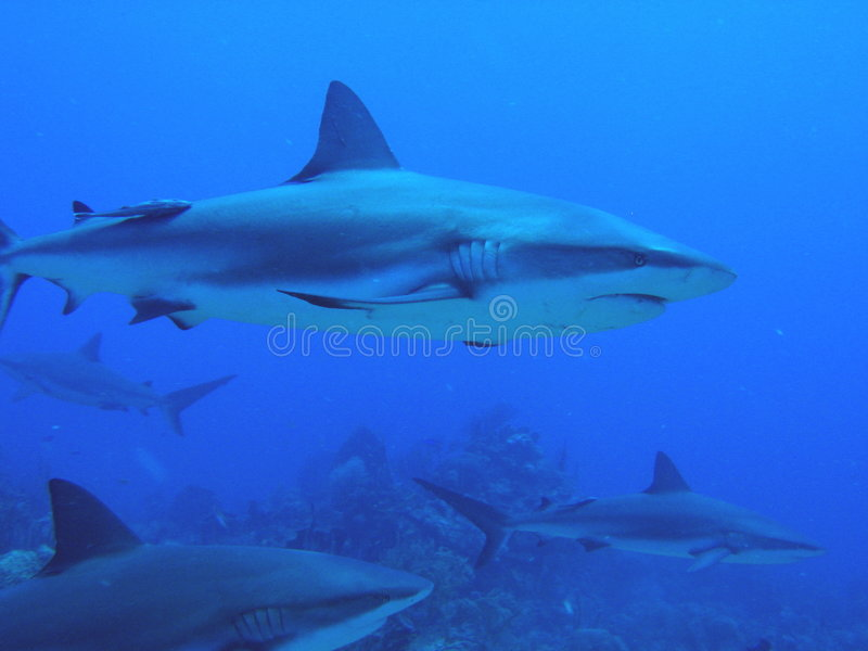 Sharks swimming by reef stock image