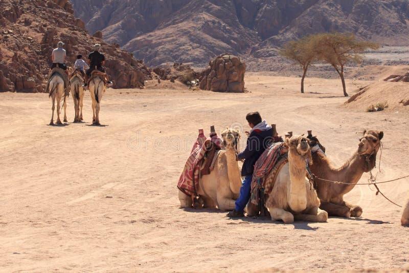 Sharm el Sheikh, Egipto - 24 de enero de 2018: gente que viaja en camellos en el desierto de Egipto imagen de archivo