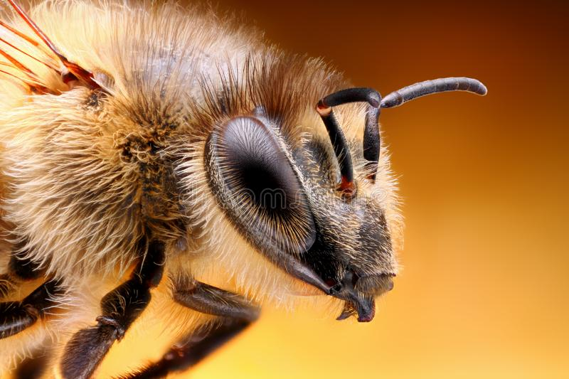 Sharp and detailed study of Bee taken with macro lens stacked from many shots into one sharp photo. Sharp and detailed study of Bee taken with macro lens stacked stock photography