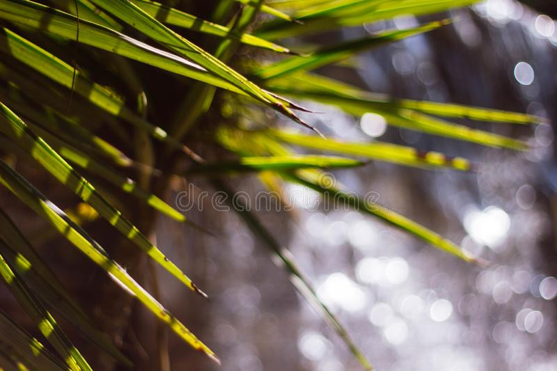 Sharp green leaves of an exotic plant on the background of water and bokeh. Beautiful water bokeh.close up stock photos