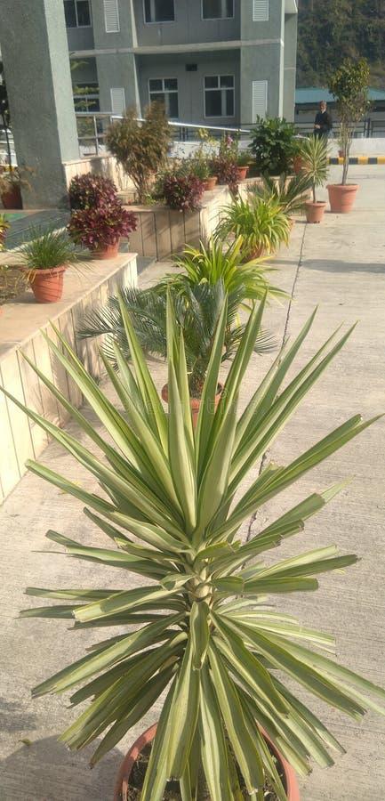 Sharp head indoor plant in hospital premises stock photos