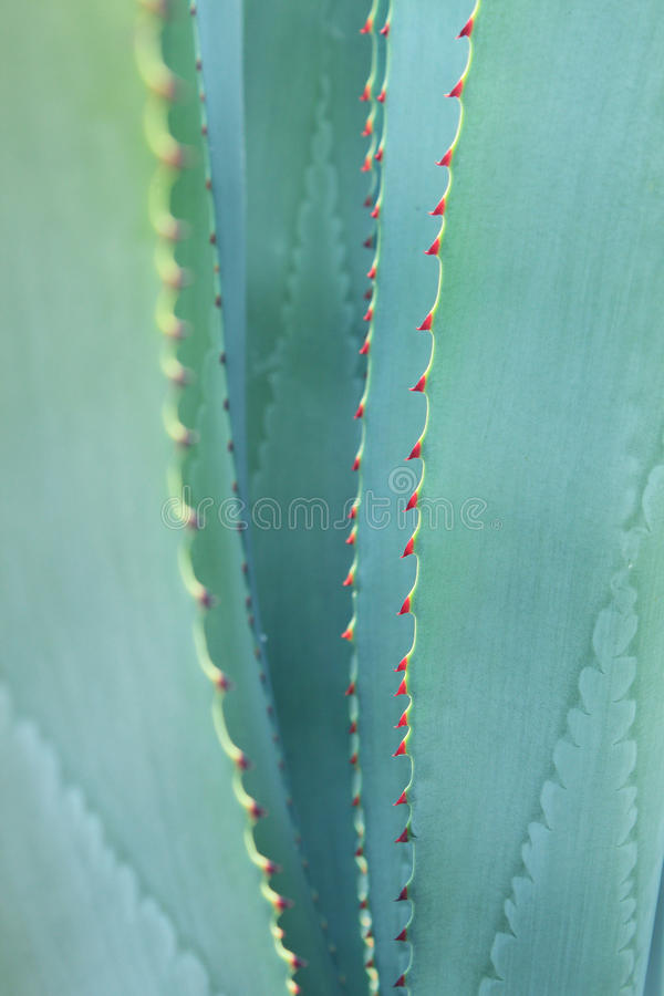 Sharp pointed agave plant leaves. Close-up of Sharp pointed agave plant leaves stock photography