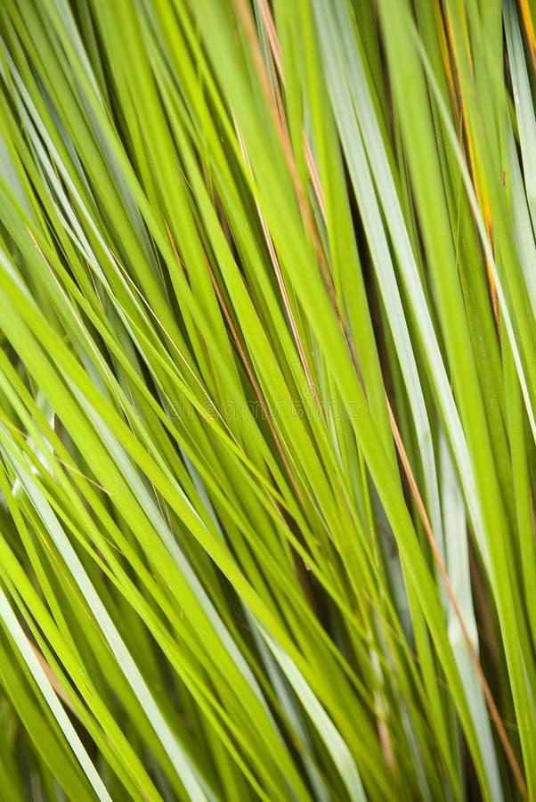 Sharp Reeds. Close up on lush green reeds forming diagonal lines stock image
