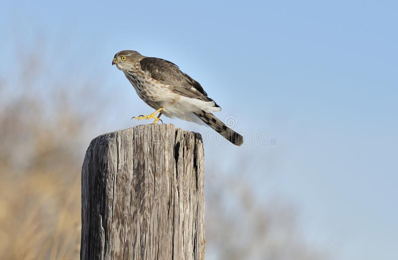 Download Sharp-shinned Hawk Stock Photo - Image: 28718250