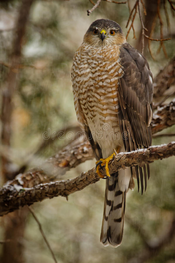 Download Sharp-shinned Hawk Stock Photo - Image: 28734280