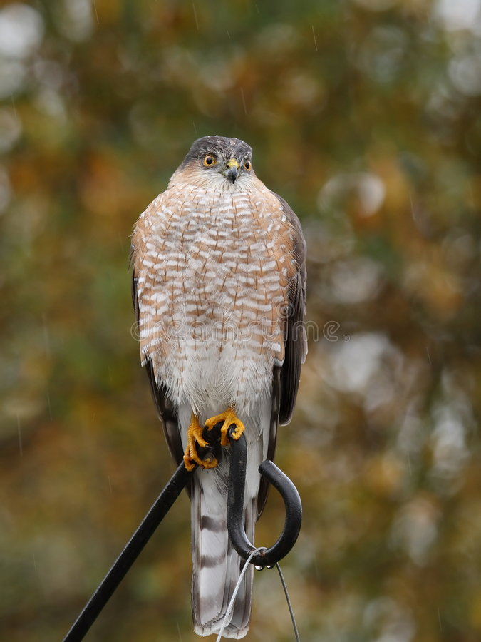Sharp shinned hawk royalty free stock photo