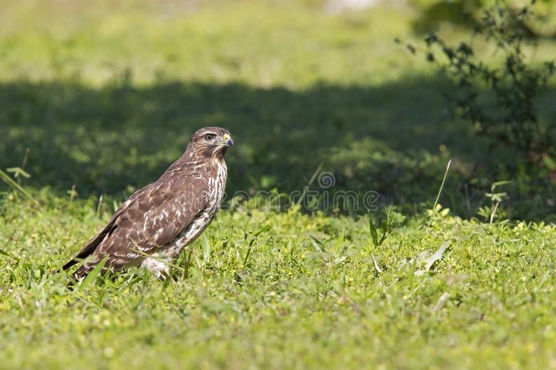 A sharp-shinned hawk Accipiter striatus perched in a meadow on a hot day in Florida. royalty free stock photo