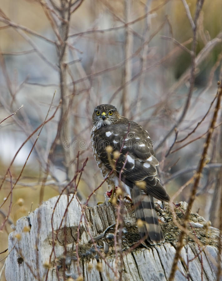 Download Sharp-shinned Hawk With Lunch Stock Photo - Image: 12849610
