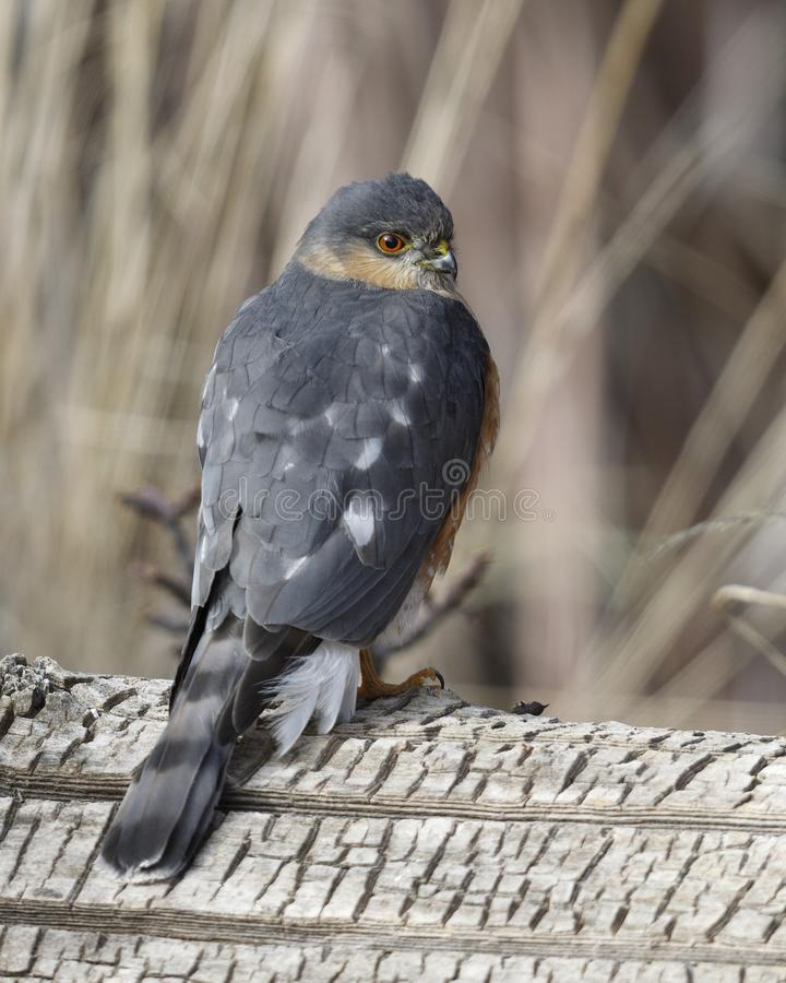 Sharp-shinned Hawk perched on a log royalty free stock photography