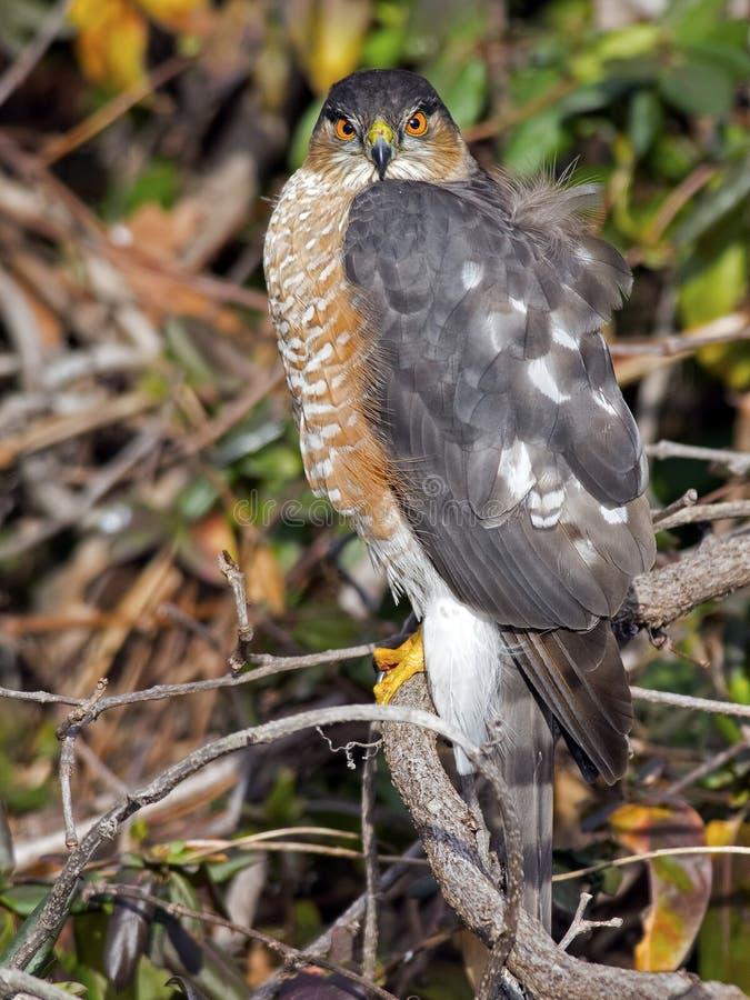 Sharp-shinned Hawk stock images