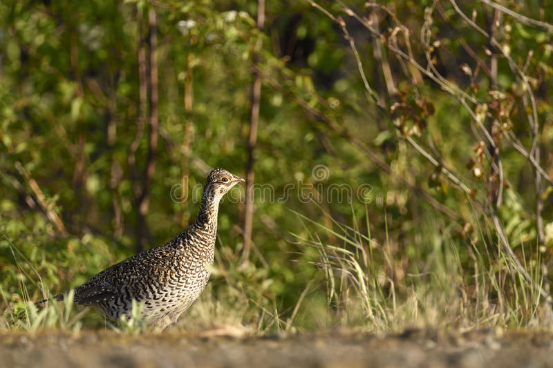 Sharp-tailed grouse stock image