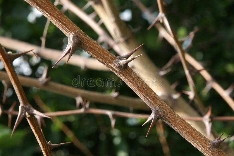 Thorn Prickles Black locust royalty free stock photo