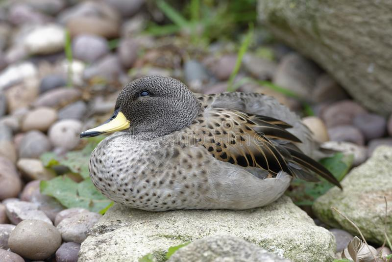 Sharp-winged Teal. Anas flavirostris oxyptera From The Andes, South America royalty free stock image