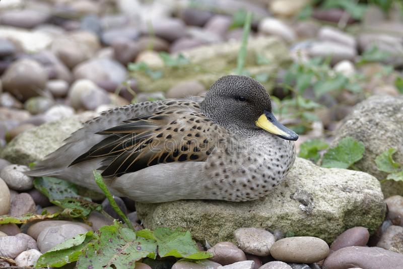 Sharp-winged Teal. Anas flavirostris oxyptera From The Andes, South America stock images