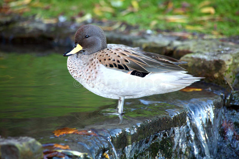 Sharp Winged Teal. Anus flavirostris oxyptera duck which is found in South American countries stock photos