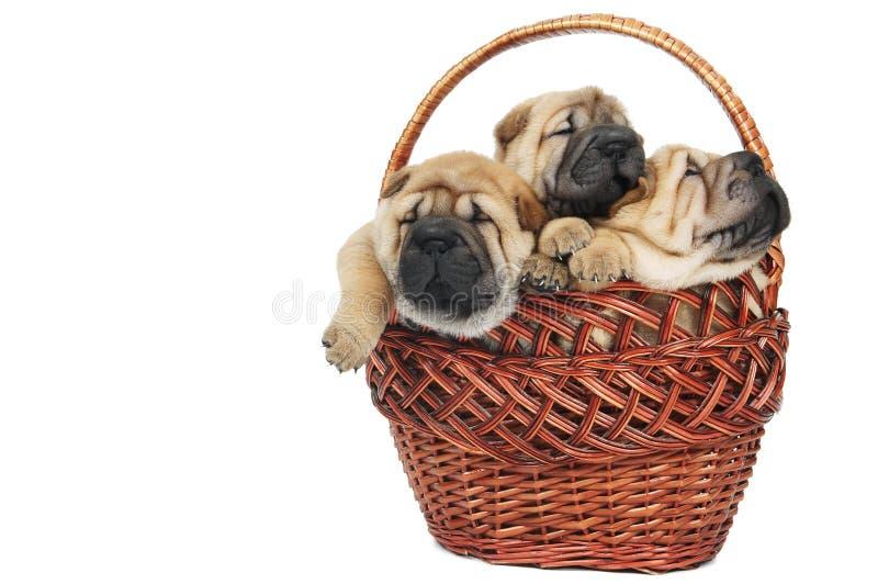 sharpei ομάδας σκυλιών μικρό στοκ φωτογραφίες