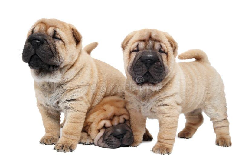 sharpei τρία κουταβιών σκυλιών στοκ φωτογραφίες με δικαίωμα ελεύθερης χρήσης