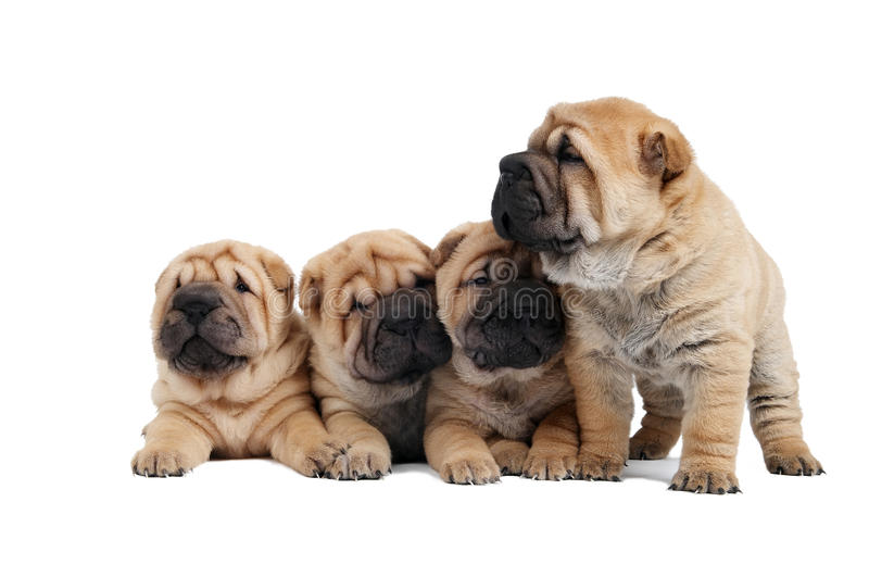 sharpei группы собаки малое стоковые изображения rf