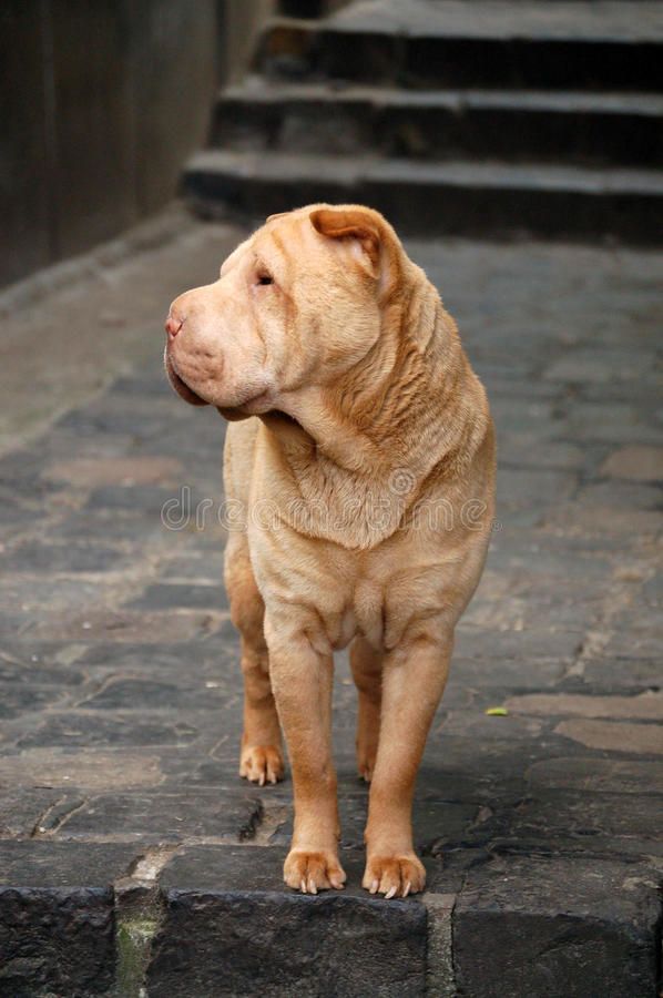 Sharpei royalty free stock photos