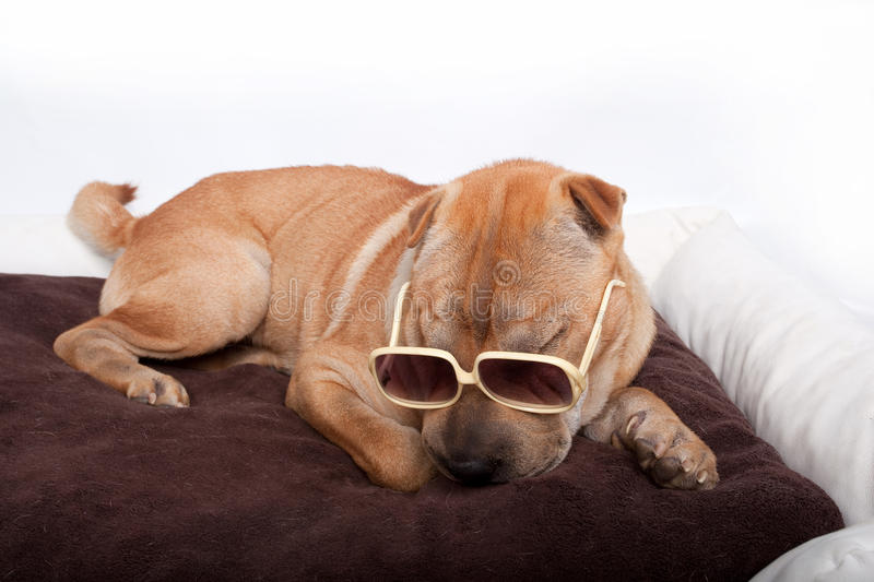 Download Sharpei Dog Wearing Sunglass Stock Photo - Image: 16704908