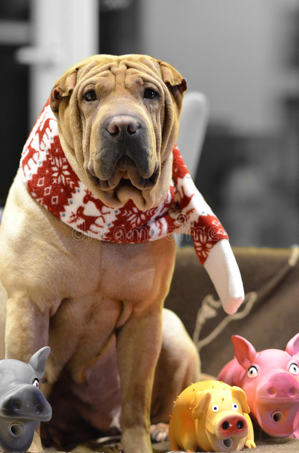 Sharpei female with christmass scarf. Traditional Sharpei female with christmass scarf and with dog toys around, sitting on the sofa royalty free stock photo
