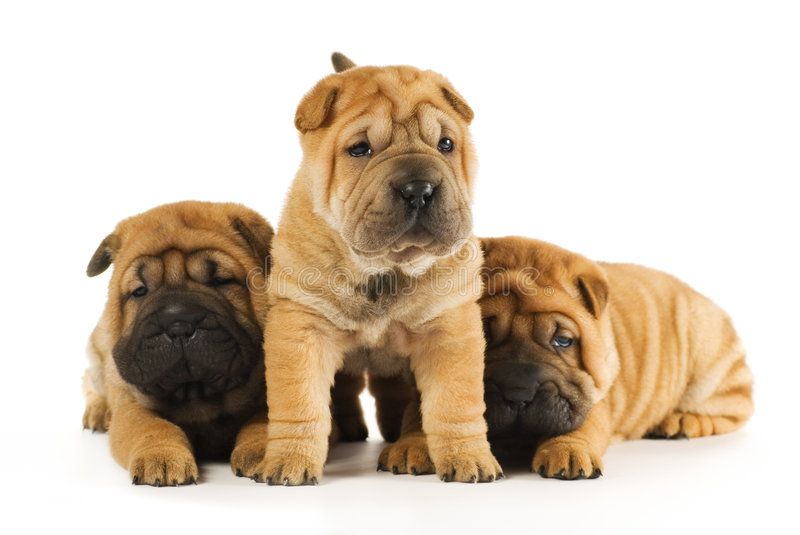 Sharpei puppies stock images