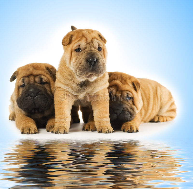 Sharpei puppies royalty free stock photography