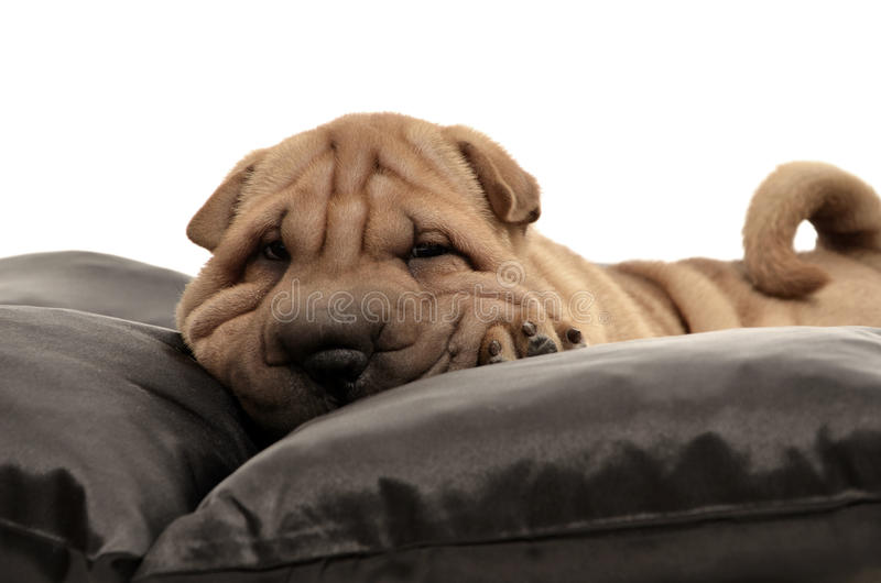 Sharpei puppy with black pillows stock photos