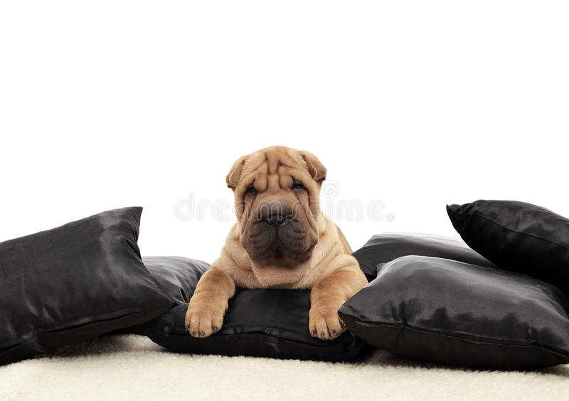 Download Sharpei Puppy With Black Pillows Stock Photo - Image of sleeping, sharpei: 26130372