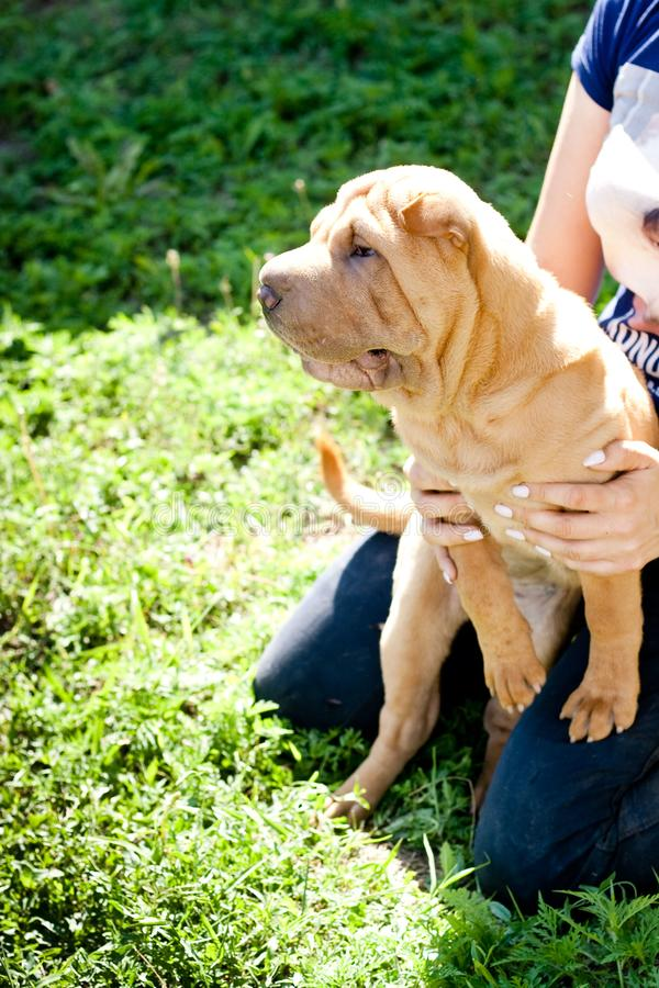 Sharpei puppy in garden royalty free stock images