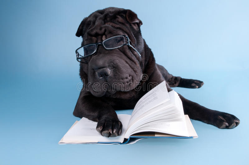 Download Sharpei reading a book stock image. Image of reading - 20195199