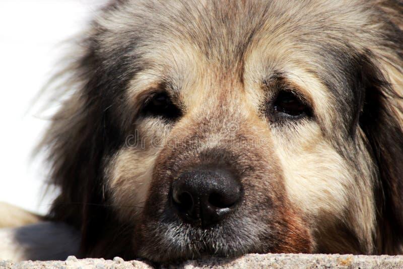 Sharplaninec - chien de moutons macédonien images libres de droits