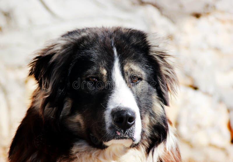Sharplaninec - chien de moutons macédonien photos libres de droits
