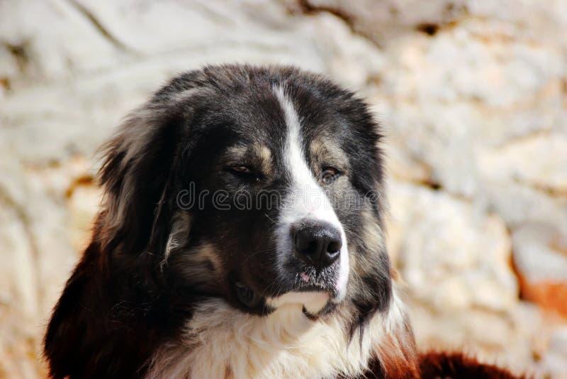 Sharplaninec - chien de moutons macédonien photographie stock