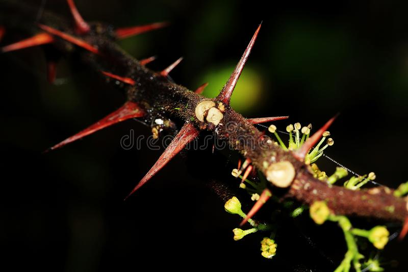 The sharpness of the thorns at the branches. royalty free stock image